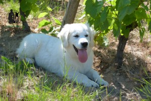 Semper-Dogz---educateur-canin-nantes-cholet---Rita-à-l'ombre