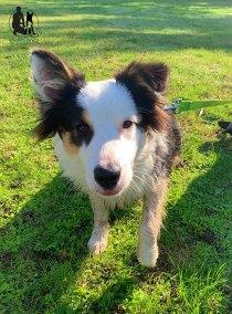 Semper-Dogz-éducateur-canin-nantes-cholet-balade-éducative-Ribin