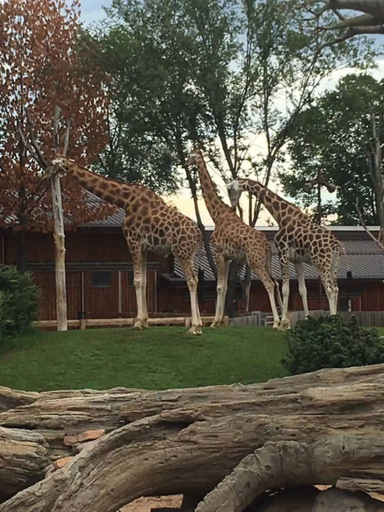 Giraffe del Bioparco Zoom