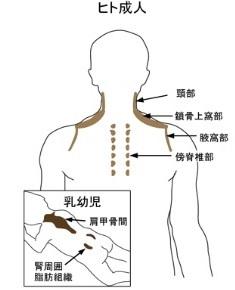 褐色脂肪細胞のある部位