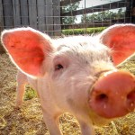 Do Now U! Should Pigs Be Used to Grow Human Organs?