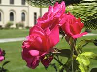 SSI 2013 Roses