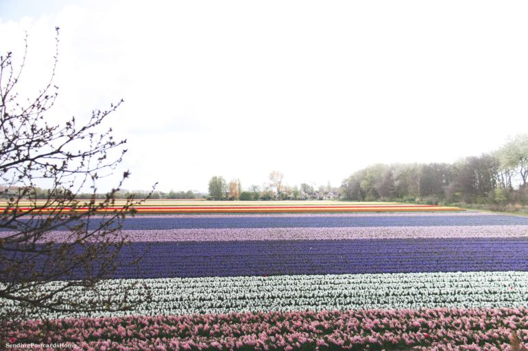 Exploring the tulip fields in Amsterdam, Netherland 4
