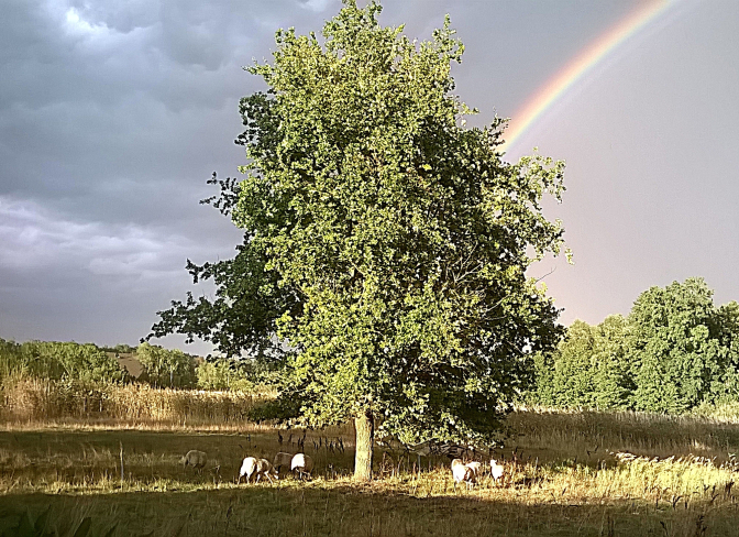 tree-with-sheep