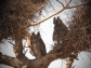 Verreaux's Eagle Owl / Grand-duc de Verreaux