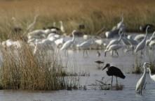 Cigogne épiscopale - Woolly-necked Stork