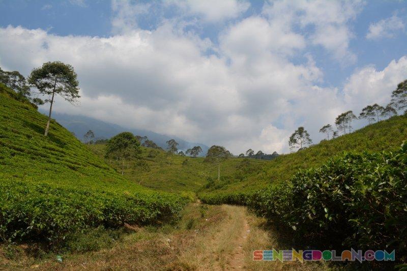 Kebun Teh Kemuning Jawa Tengah