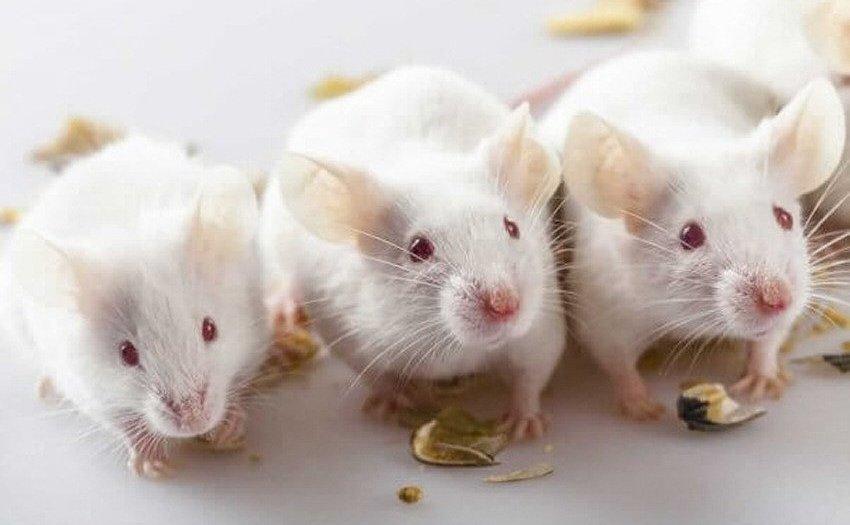 Verbot von Tierversuchen zu kosmetischen Zwecken