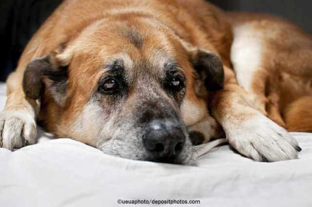 Arthrose beim Hund - Symptome