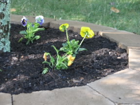 Pansies in one of our new flower beds.  September 24, 2008.