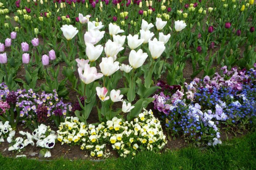 tulipany i bratki w Ahlbeck