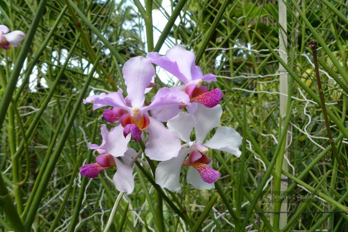 Singapur - Ogród Orchidei