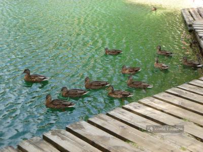 Kaczki w Adrszpach