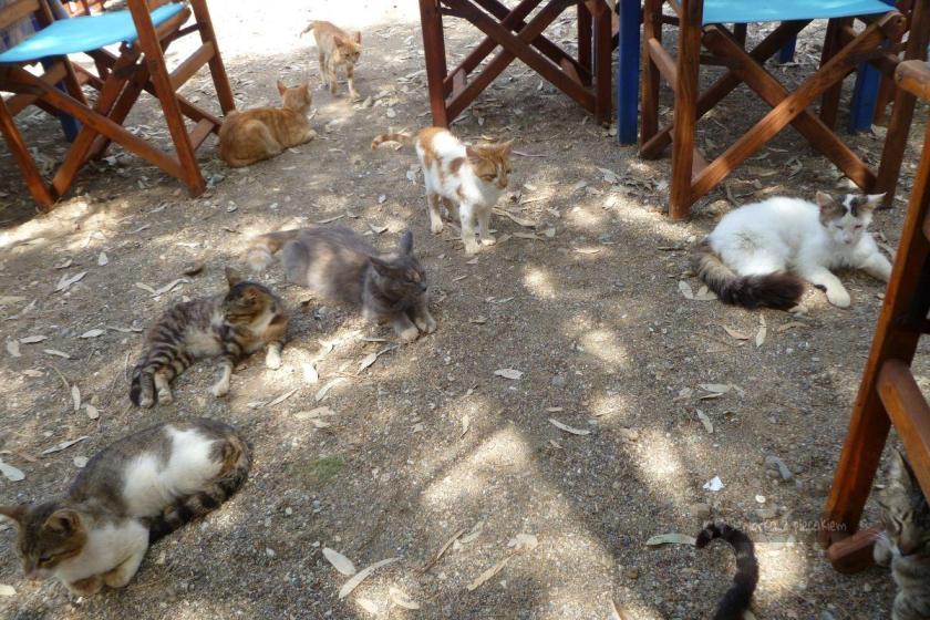 Koty w restauracji w Megalo Livadi na Serifos na Cykladach