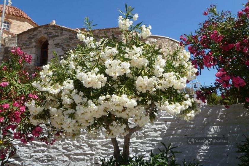 Kwiaty na Paros
