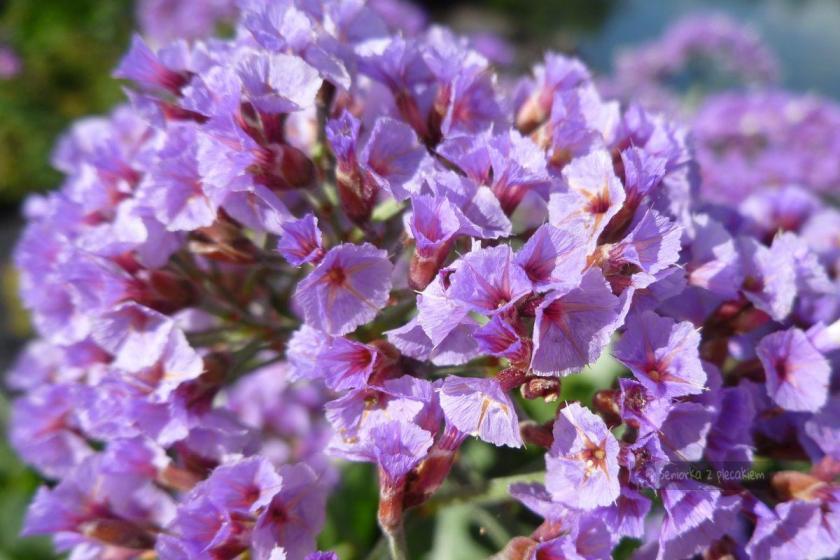 Kwiaty w ogrodzie na Lanzarote