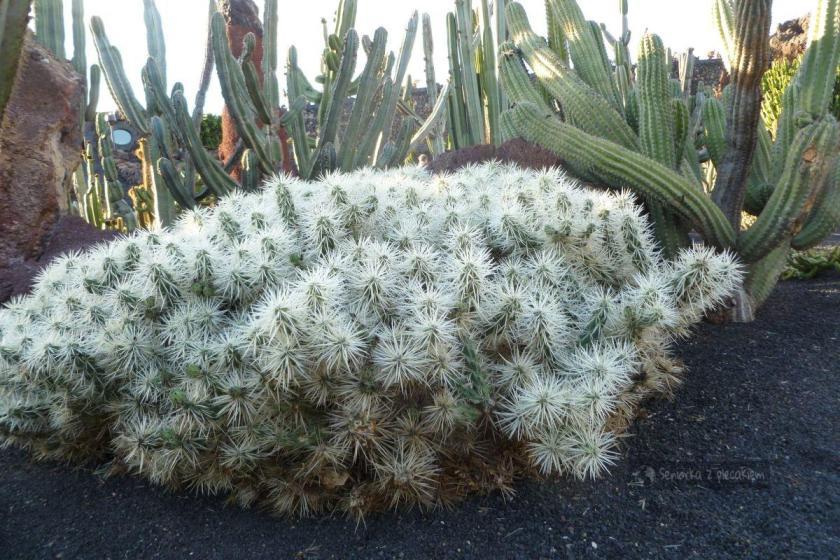 Ogród kaktusów na Wyspach Kanaryjskich