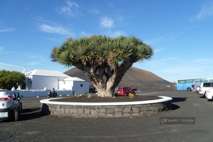 Smocze drzewo w dolinie La Geria na Lanzarote