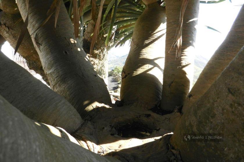 Środek smoczego drzewa
