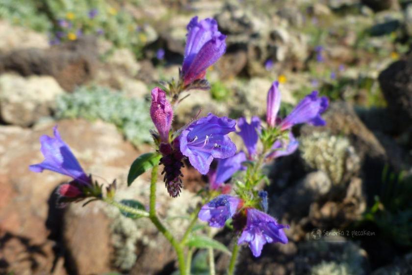 Kwiaty na zboczach wulkanu Corona