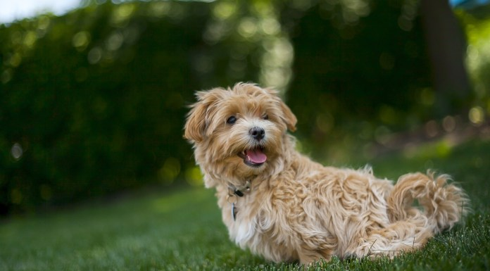 Seniors Lifestyle Magazine Talks To Why Older Adults Should Own A Maltipoo
