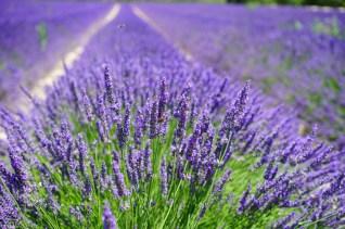 Lavendelfält i Peovence