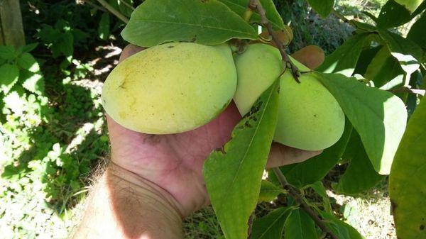 В Крыму будут выращивать азимины