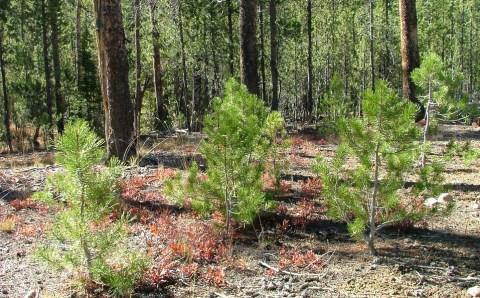 В Тамбовской области высадят более тысячи гектаров молодого леса