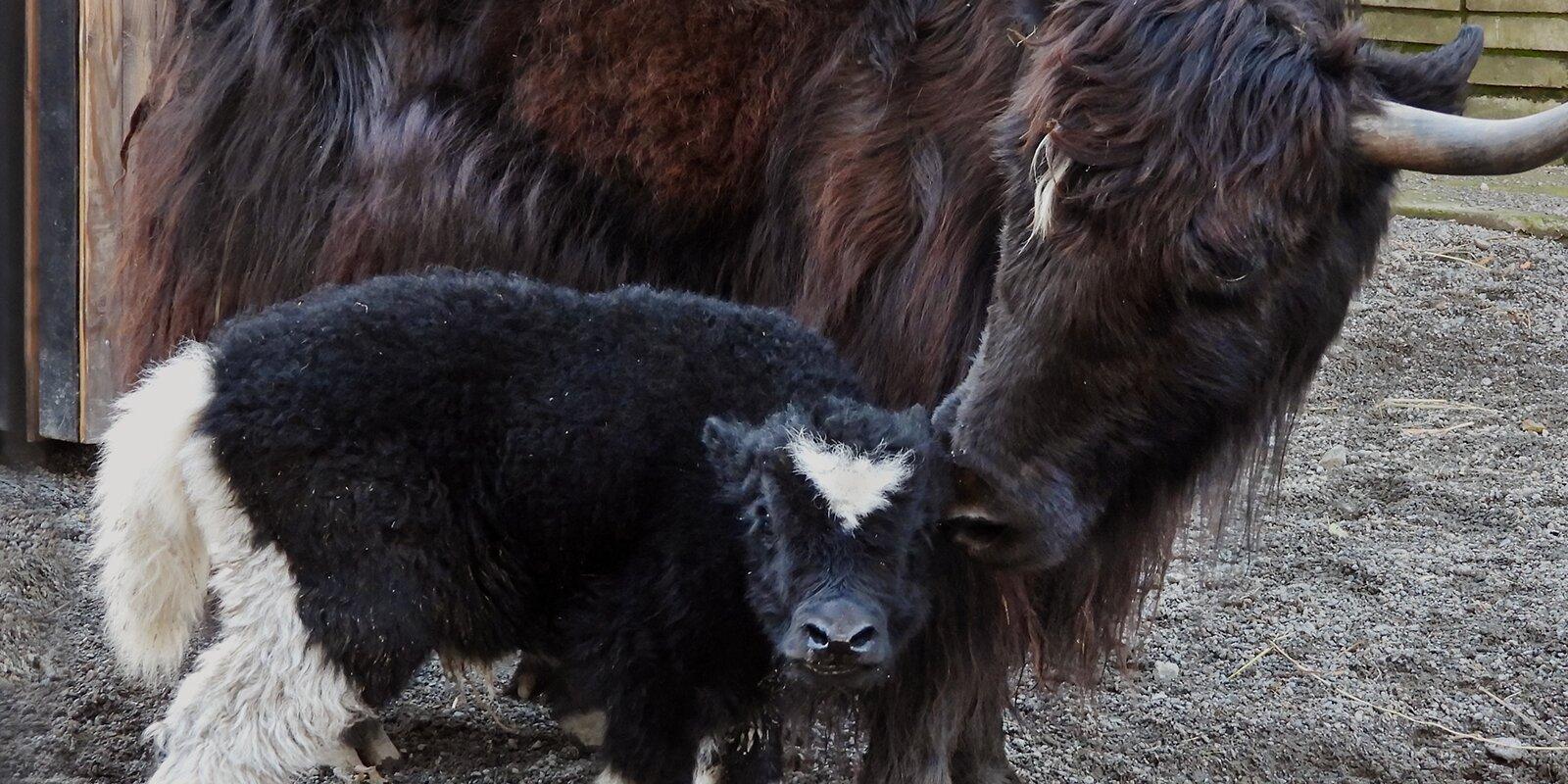 Жители столицы выберут имена для родившихся в зоопарке телят яка