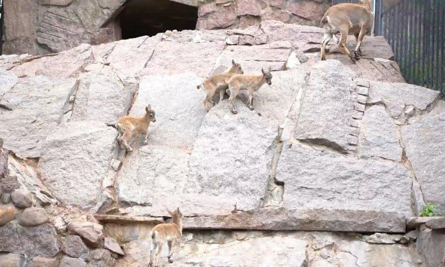 Семеро козлят: в Московском зоопарке подрастают детеныши дагестанского тура