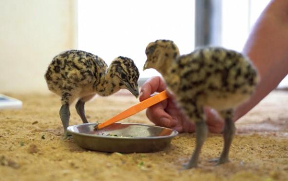 Впервые с 2005 года редкая птица дрофа дала потомство в Московском зоопарке