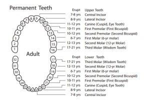 Eruption Chart Adult Teeth