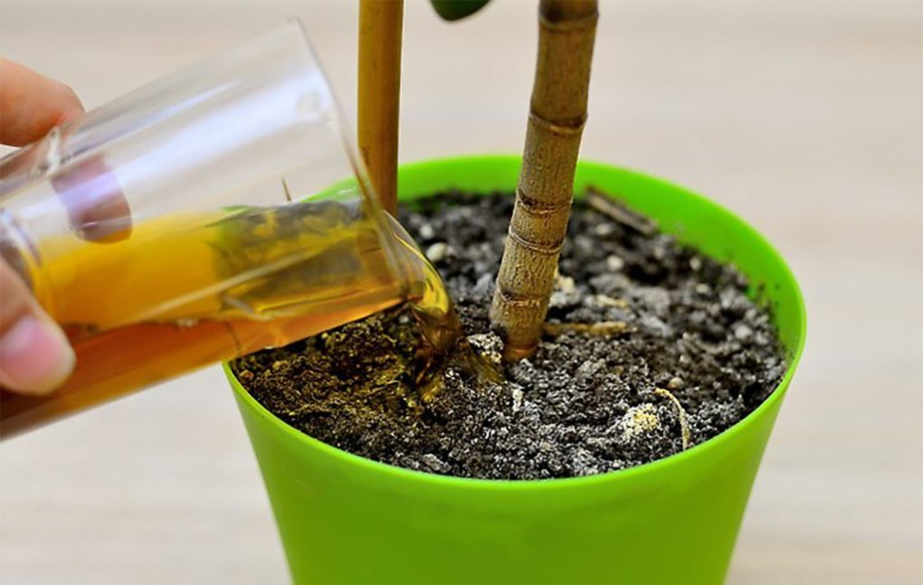 A close up image of a hand pouring brown compost liquid from a glass into potted plant soil. A plant is growing from the soil.