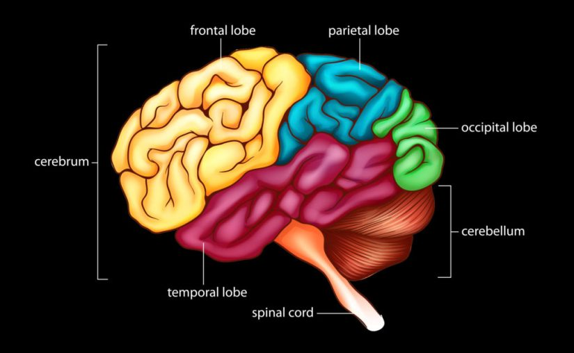 An illustrated diagram of the brain indicating different brain regions in colours. The cerebrum, the large lobe on the far left is yellow, with another label indicated the frontal lobe section. The Parietal lobe, to the right of the frontal lobe, is teal. Beside that, the occipital lobe, is green. Below, illustrated with stringy thick lines, is the cerebellum, in orange-brown. The spinal cord protrudes from the bottom in a bright orange. In the middle is the temporal lobe, in purple. Benefits of cannabis for epilepsy