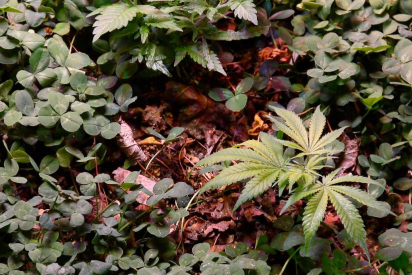 4-Clover-camouflaging-cannabis-