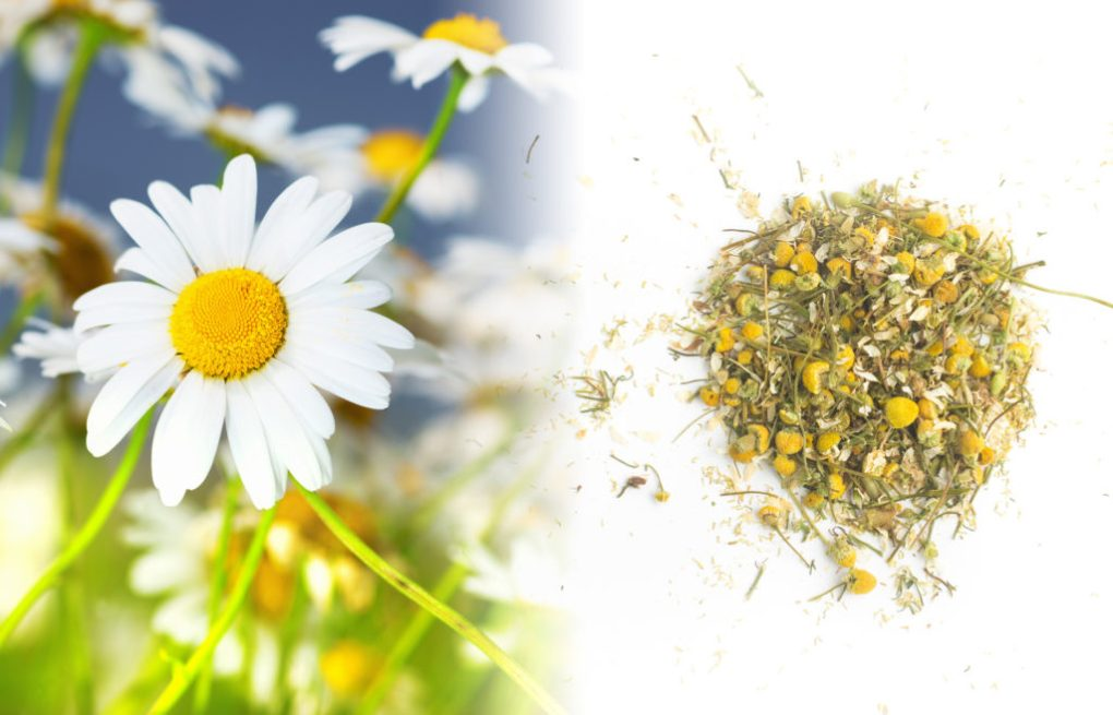 A close up photograph of a group of chamomile flowers. They are small daisy-like flowers with a small yellow solid cone surrounded by white petals. The leaves are twice divided and have a feather like appearance. The stem is green. Besides the fresh plant is a dried herb mixture which is brown with yellow dried cones on a white surface.