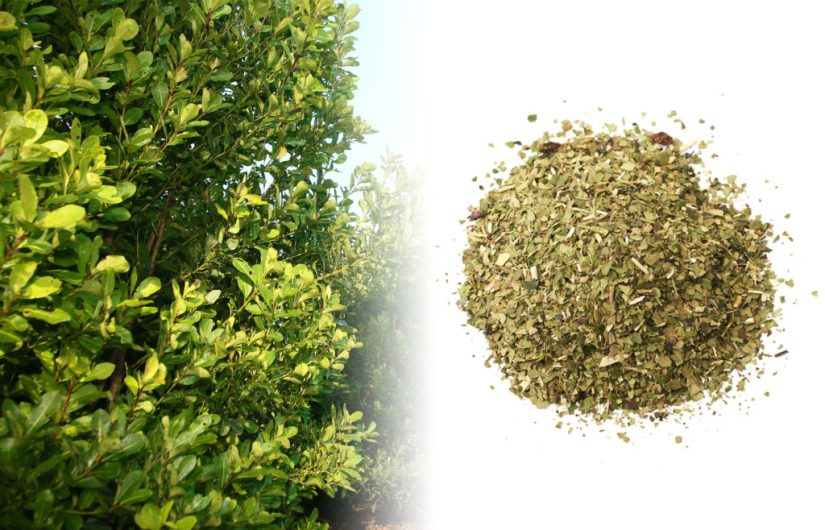 A photograph of a large yerba mate bush. It grows tall, green, and is densely packed with small green leaves. Besides the fresh plant is a photograph of a dried yerba mate mixture.