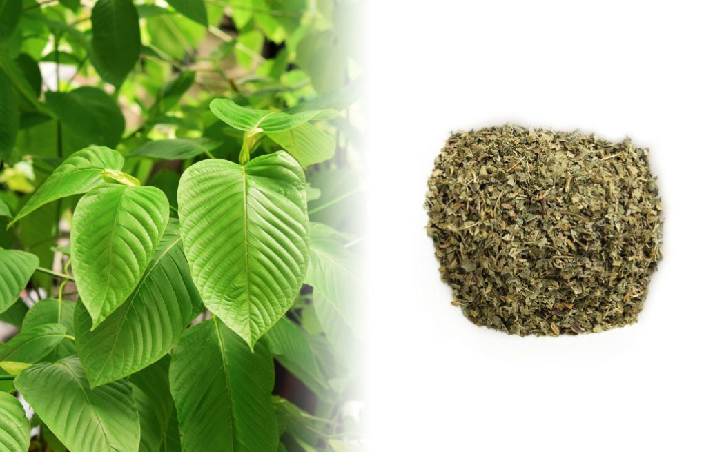 A close up photograph of a Kratom plant. The leaves are dark green and glossy with a wide oval type shape. To the right of the fresh plant is a dried green-brown kratom herb mixture on a white surface.