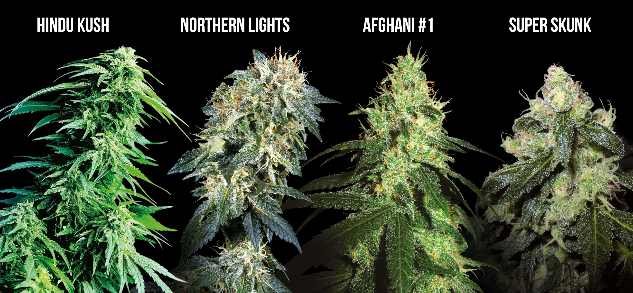 Northern Light Grow