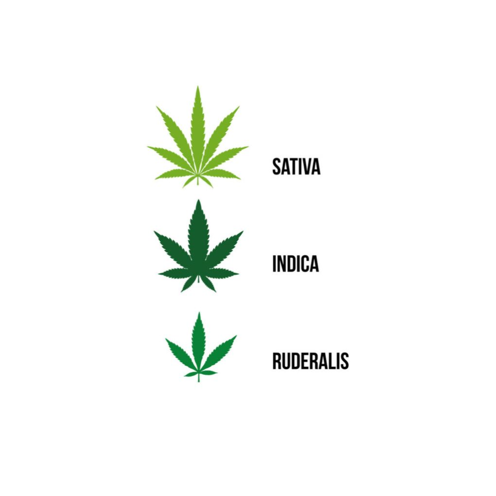 An infographic shows three different strains of cannabis in a simple two-dimensional style. The top image shows a sativa leaf. The sativa leaf is thinner, lighter green and has more petals. Below it is an indica leaf. The indica leaf is thicker, with fewer petals, and is a darker green. Below that is the ruderalis leaf. The ruderalis leaf is medium green, smaller, with fewer petals spaced far apart.