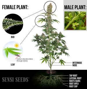 The Parts of the Cannabis Plant