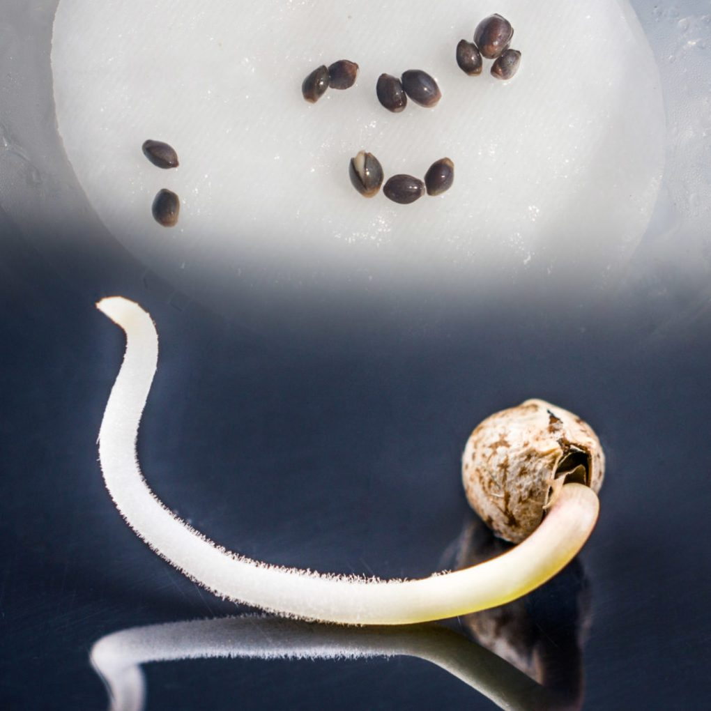 A closeup photograph showing the germination stage of a cannabis seed. The bottom half of the image shows a root growing out of a seed. Above this is another image of many cannabis seeds resting on a wet tissue. The images blend into one another.