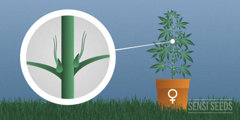 Vrouwelijke cannabis plant