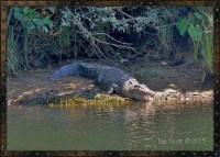 Crocodile-Animal-Spirit