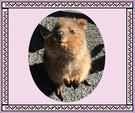 quokka spirit animal