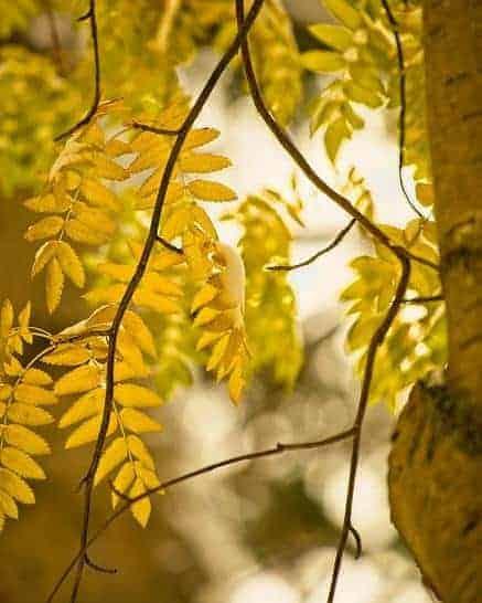 ash tree spiritual meaning