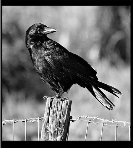 crow spirit animal meaning