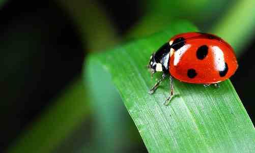 Ladybug spiritual meaning