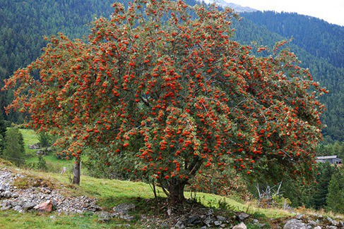 rowan tree meaning