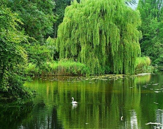 willow tree spiritual meaning